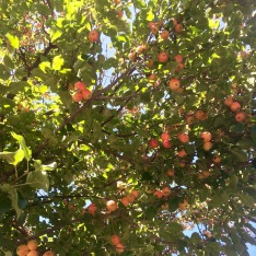 Apples ready to pick.