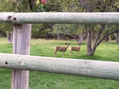 Deer are always visiting our yard.