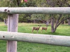 Deer are always visiting our yard.